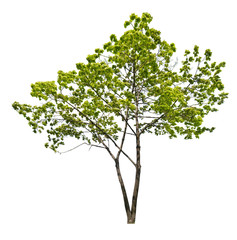 spring young green isolated maple tree