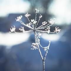 Umbelliferae plant in frost
