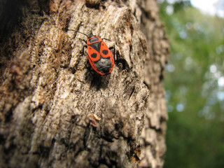 Bedbug-soldier on a tree trunk, super macro mode