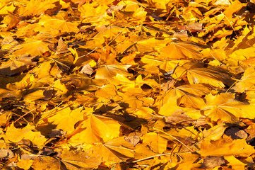Yellow leaves on the forest floor