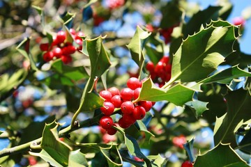 Christmas Holly Branch with red berries under blue sky