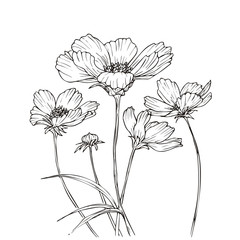 Hand drawn vector with cosmos flowers