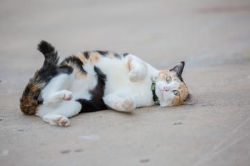 Portrait of three color cat