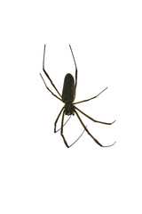 Black Spider Isolated