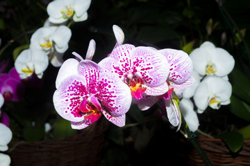 White-pink Orchid flower close-up