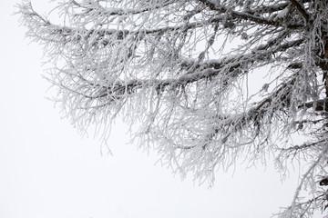 Snowy fir tree