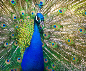 Colorful peacock showing off his tail feather.