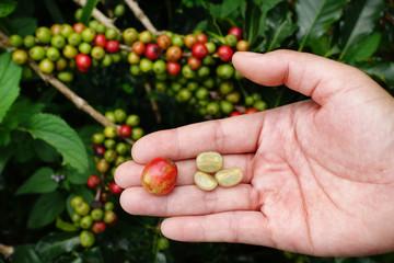 Fresh coffee bean from coffee cherry.