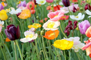 Poppies and Tulips  4