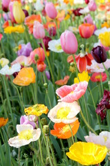 Poppies and Tulips 5