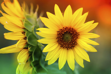 Bright sunflowers with selective focus