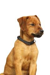 isolated viszla puppy