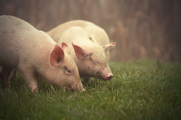 little pigs on meadow