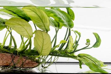 aquarium plant Anubias barteri