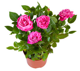 Blossoming plant of pink rose in flowerpot isolated on white.