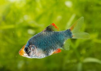 Puntius tetrazona -  aquarium fish