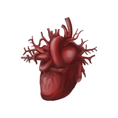 Human heart medical diagram isolated on white