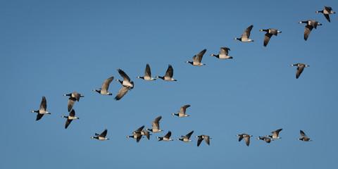 Weißwangengänse - Flugbild