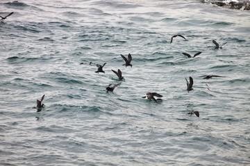 Inca tern, Larosterna inca, catch fish, Matarani, Peru