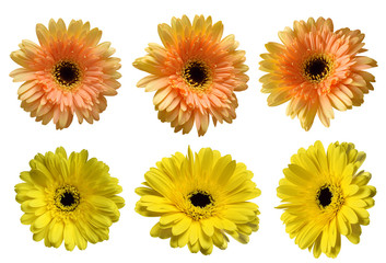 Six beautiful gerbera flowers isolated on white