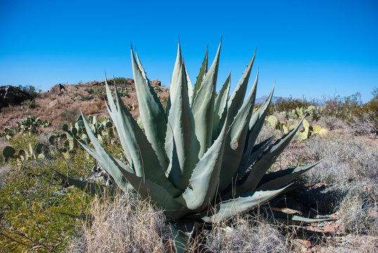 large agave plant in the desert