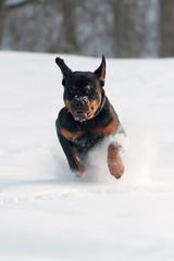 running dog on snow