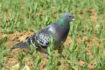 Pigeon dans un champ de pois
