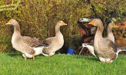 groupe d'oies dans l'herbe d'un jardin