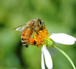 Spoed Fotobehang Bee bee on flower