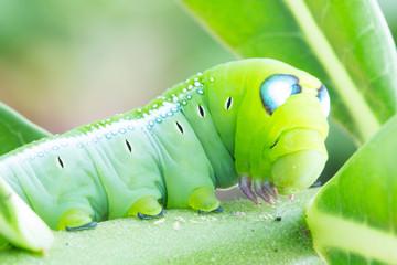 Worm the caterpillars