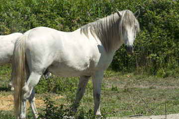 White horses in Camargue (Provence)