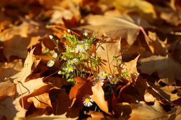 Flowers on fallen maple leaves