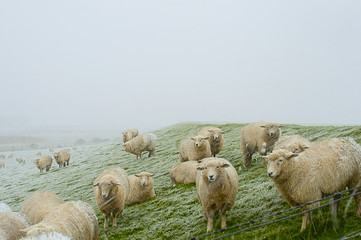 A flock of sheep on a North Sea shore on a very cold and windy day with a snow storm in Husum, Germany