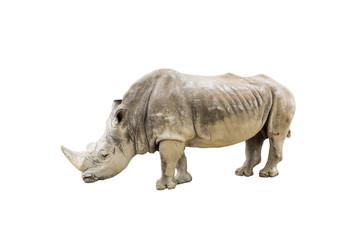 White rhino isolated