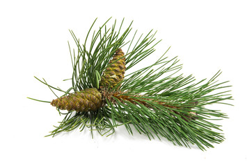 sprig of pine cones