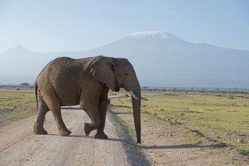 Kenya Africa Amboseli reserve  Mt Kilimanjaro, Elephant crossing road.