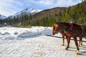 Two horses rest after transporting tourists in sleigh carriages to Morskie Oko lake in winter, High Tatra Mountains, Poland