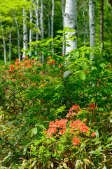 Japanese Azalea and Birch forest at Yachiho highlands in Sakuho town, Nagano, Japan
