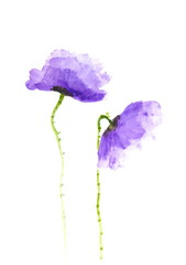 Purple poppy flowers on white, Acrylic color painting
