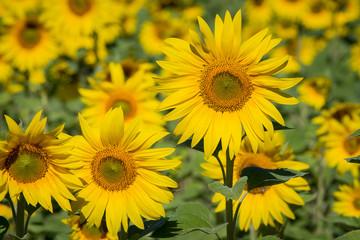 Yellow sunflowers field. Ukraine