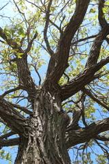 Old oak tree crown against a blue sky