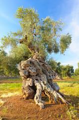 Ulivo secolare Puglia Salento