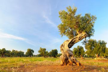 Photo sur Toile Oliviers Ulivo secolare Puglia Salento