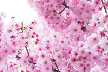 japanese cherry blossoms SAKURA Wall mural