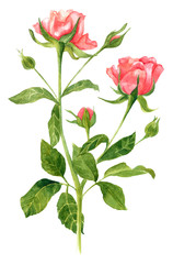 Vintage watercolor drawing of tender pink rose on white background