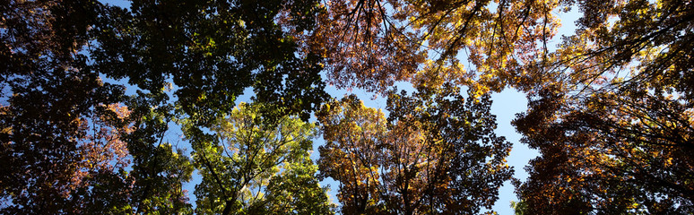 Panoramic shot of golden-leaved trees