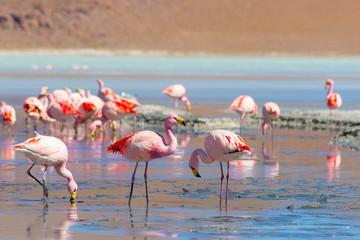 """Pink flamingos at """"Laguna Hedionda"""" on the Bolivian Andes"""