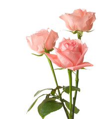 three pink  roses isolated on white