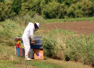 beekeeper with the white protective suit while collecting honey