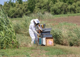 beekeeper while collecting honey from honeycombs of bee hives in